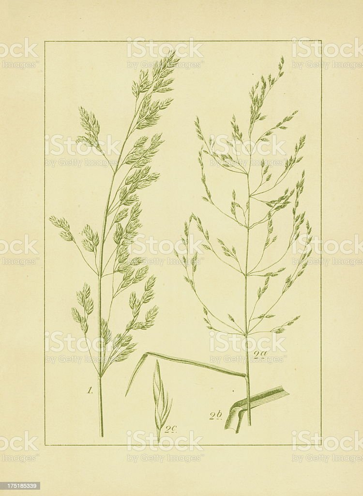 Poa caesia and wood bluegrass | Antique Flower Illustrations vector art illustration
