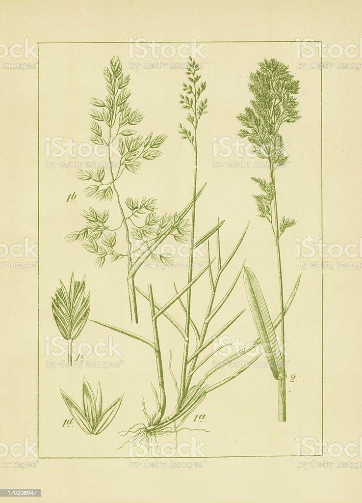 Poa cenisia and broadleaf bluegrass | Antique Flower Illustrations vector art illustration