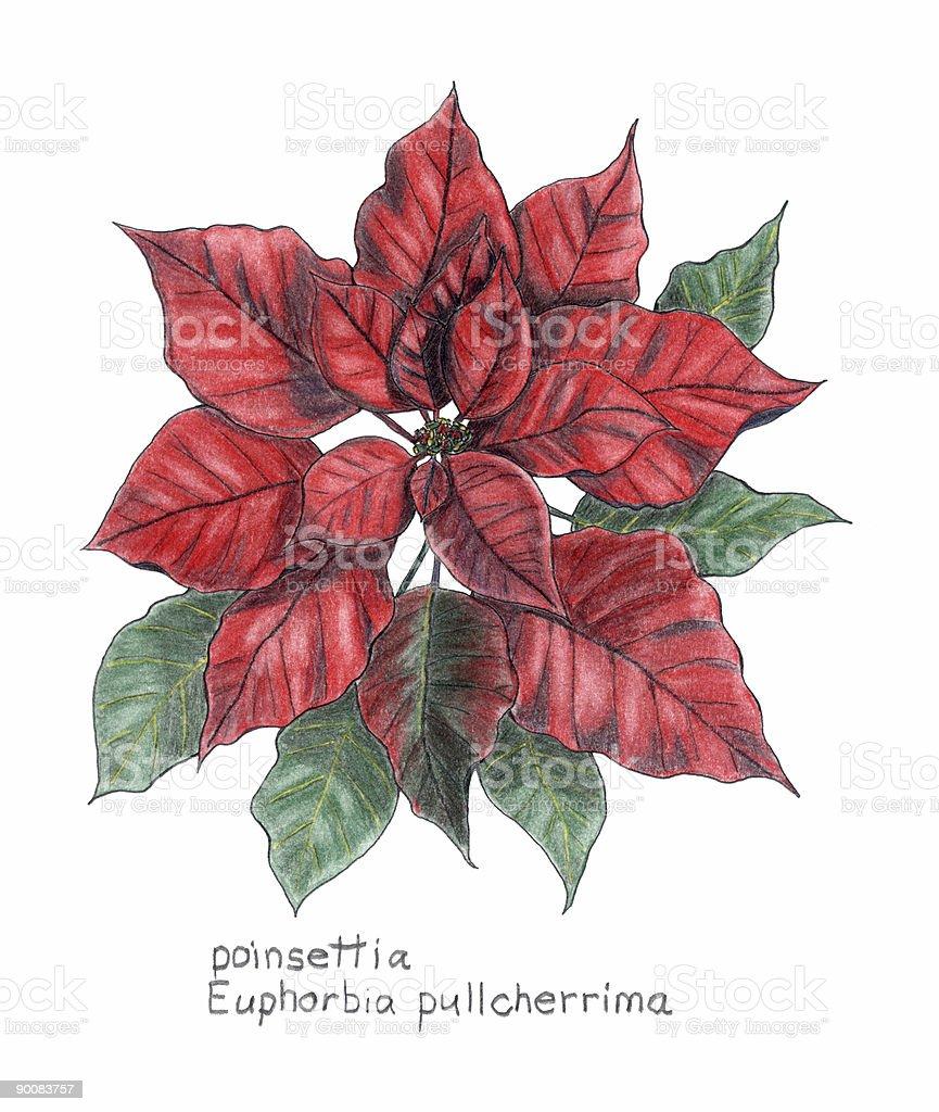 Ilustración De Flor De Nochebuena Euphorbia Pulcherrima Botanical