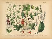 istock Poisonous and Toxic Plants, Victorian Botanical Illustration 515318952