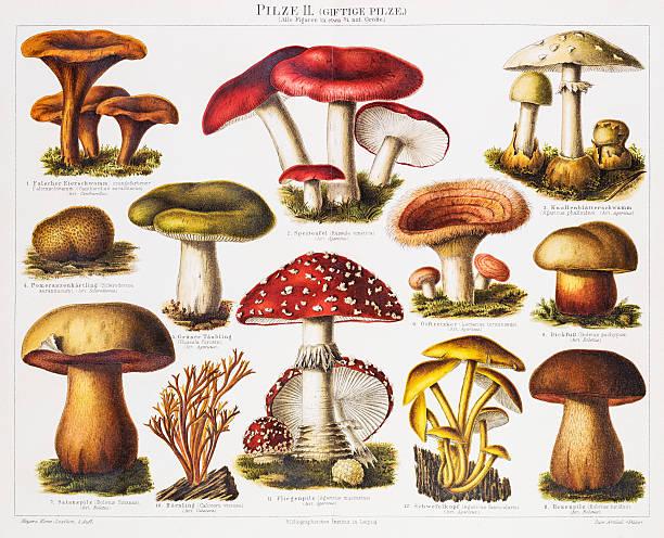 독성 버섯 다색 석판 인쇄 1896 - 버섯 stock illustrations