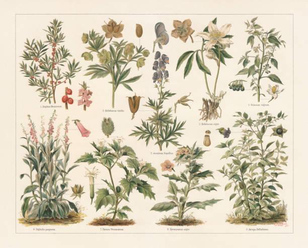 bildbanksillustrationer, clip art samt tecknat material och ikoner med giftiga växter, litografi, utkom 1897 - amaryllis