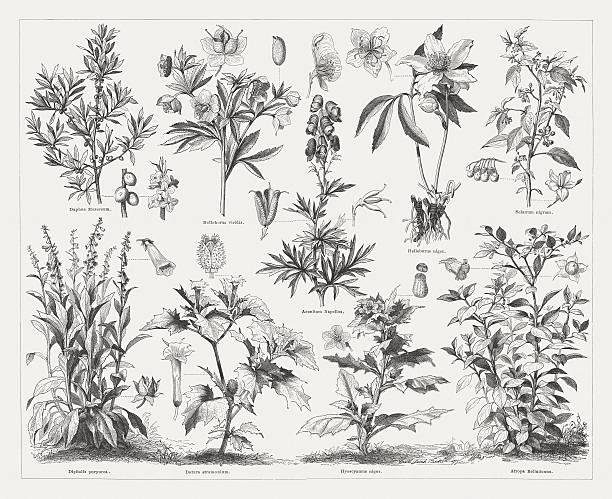 Poisonous plants, wood engravings, published in 1876 Poisonous plants: February daphne (Daphne mezereum), Green hellebore (Helleborus viridis), Monk's-hood (Aconitum napellus), Christmas rose (Helleborus niger), Black nightshade (Solanum nigrum), Foxglove (Digitalis purpurea), Jimson weed (Datura stramonium), Henbane (Hyoscyamus niger), Deadly nightshade (Atropa belladonna). Wood engraving, published in 1876. corn lilly stock illustrations