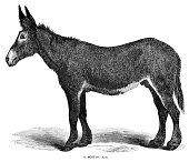 Woodcut of Poitou ass or Poitou donkey. Cyclopedia of Livestock, Periam and Baker 1882.