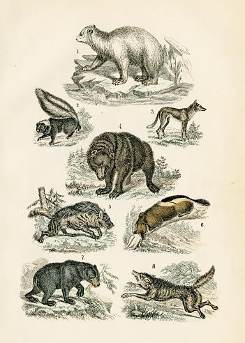 Polar bear, grizzly, wolf, jackal, hyena, skunk engraving 1872