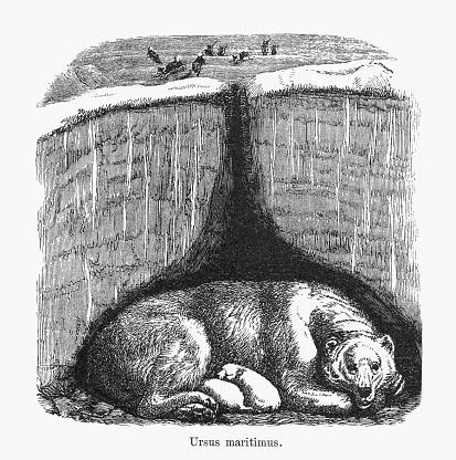 Polar bear (Ursus maritimus), wood engraving, published in 1893