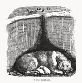 istock Polar bear (Ursus maritimus), wood engraving, published in 1893 1295505577