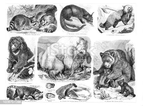 Polar brown bear racoon illustration with german text Original edition from my own archives Source : Brockhaus Konversationslexikon 1882