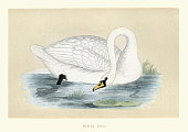 Vintage illustration of a Polish swan a type of Mute swan