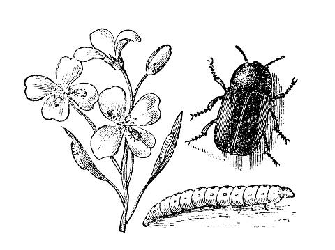 Pollen beetle (Meligethes aeneus)