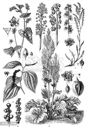 Polygonaceae family :1. Polygonum fagopyrum ,2. Rheum officinale ,3. Rumex acetosella ,4. Piper nigrum.