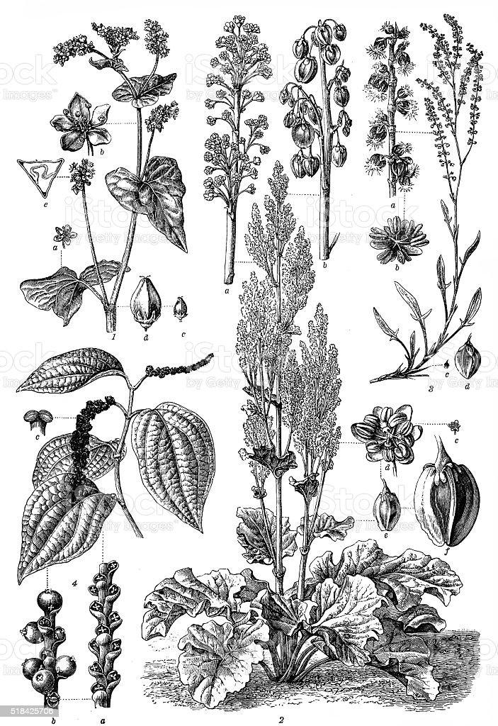 Polygonaceae family vector art illustration