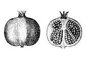 Illustration of a pomegranate fruit