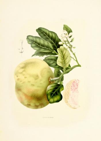 Pomelo   Antique Plant Illustrations