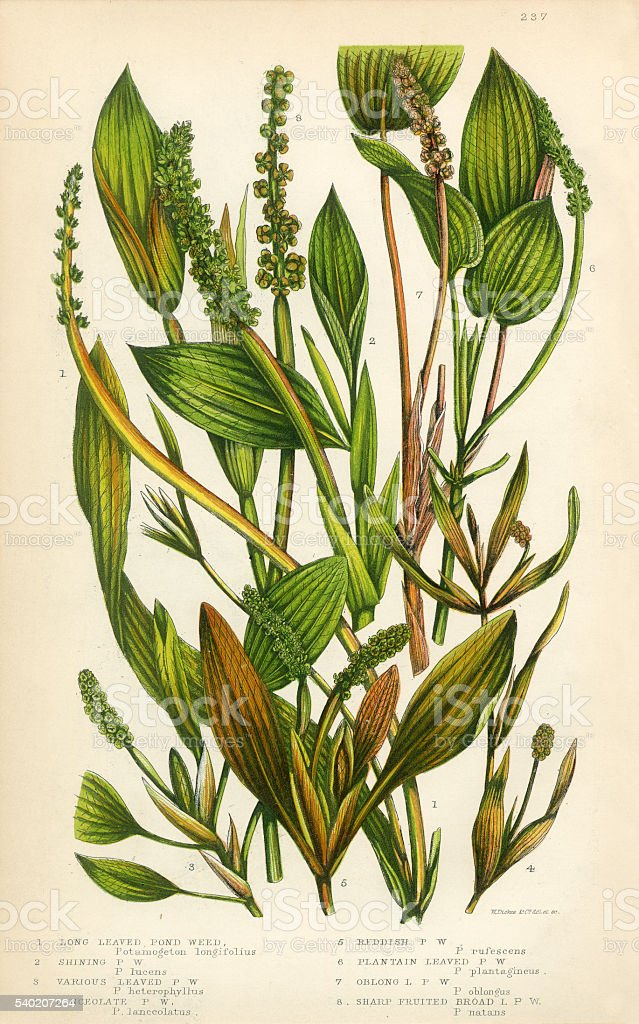 Pond Weed, Lemnoideae, Bayroot, Duckweed, Victorian Botanical Illustration vector art illustration