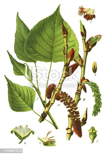 "Antique illustration of a Medicinal and Herbal Plants.  illustration was published in 1892 ""Medicinal Plants of the Russian"