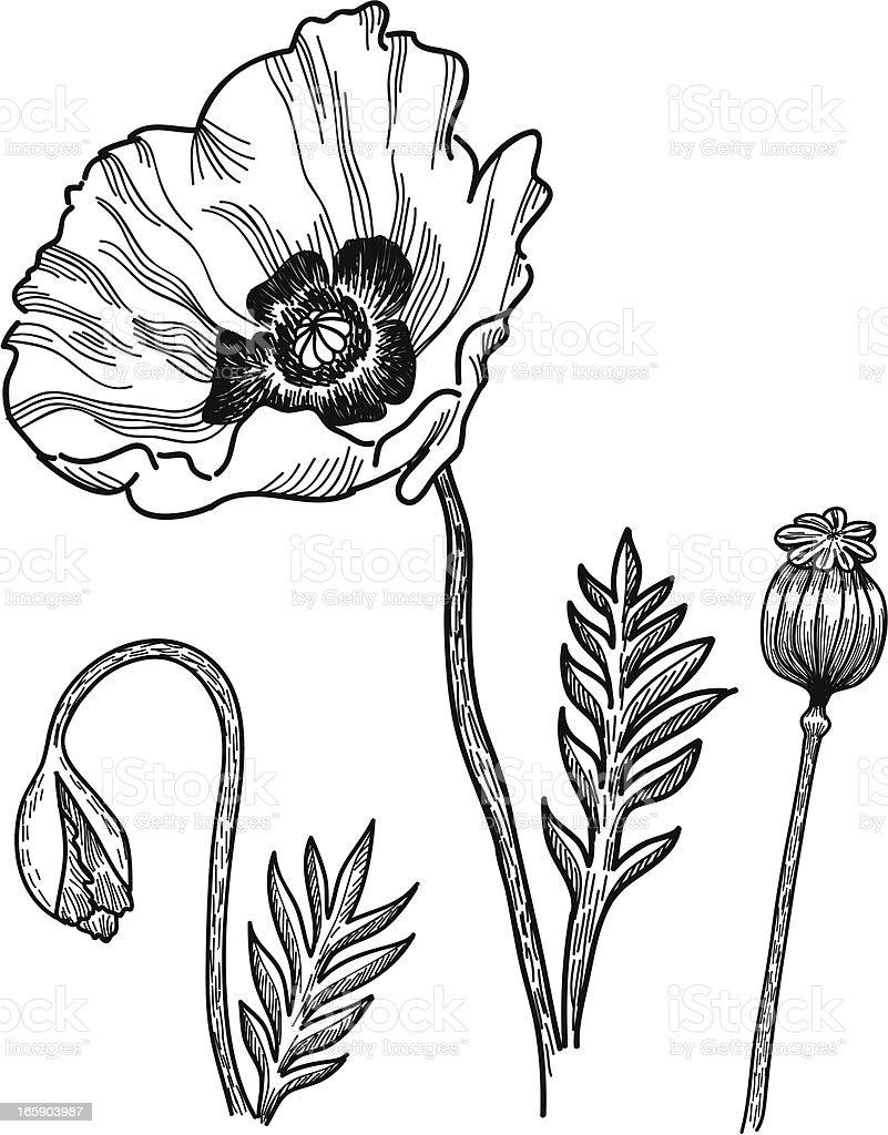 Poppies vector art illustration