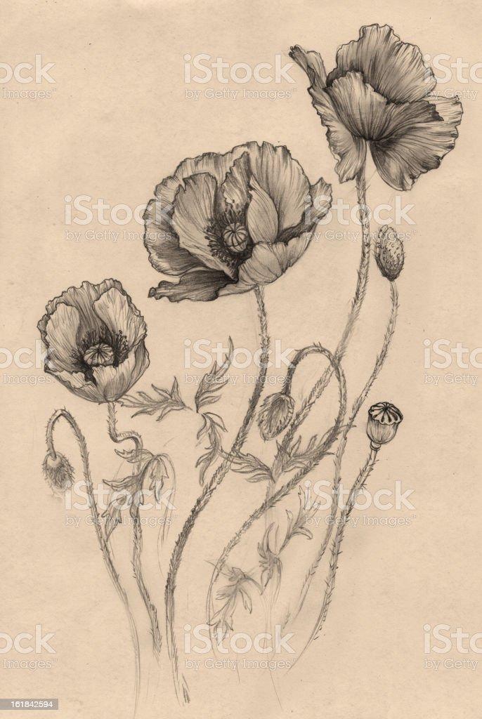 Poppy, (black-and-white) vector art illustration