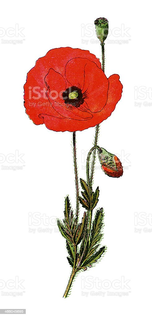 Poppy vector art illustration