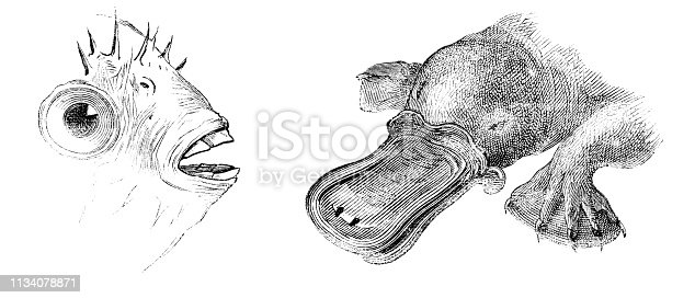 The beaks of a Porcupinefish and Platypus from Magasin Pittoresque. Vintage etching circa mid 19th century.