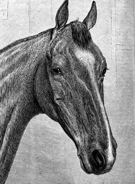 Portrait of a horse Illustration from 19th century looking at camera stock illustrations