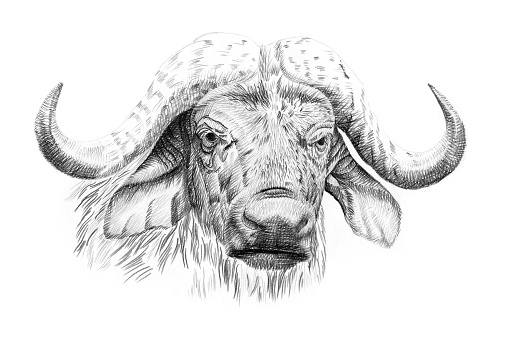 Portrait of buffalo drawn by hand in pencil