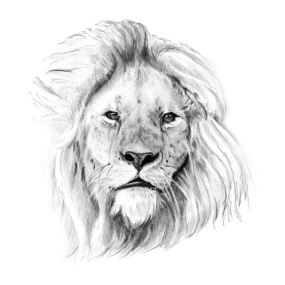 Portrait of lion drawn by hand in pencil