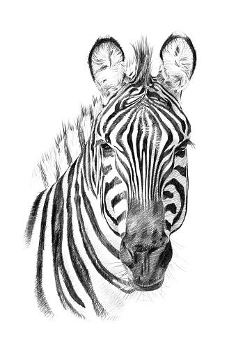 Portrait of zebra drawn by hand in pencil
