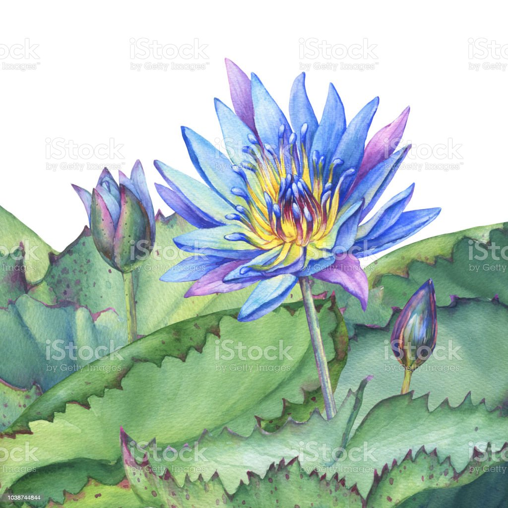 Poster Composition Of Blue Lotus Flower With Leaves Seed Head Bud