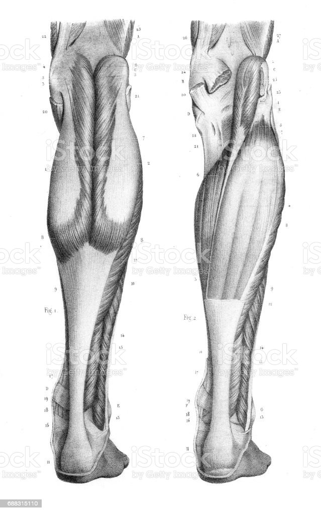 Posterior Leg Region Anatomy Engraving 1866 Stock Vector Art & More ...