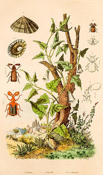 ilustrações de stock, clip art, desenhos animados e ícones de batata, lapa, escaravelhos, ilustração floral do século 19 - lapa