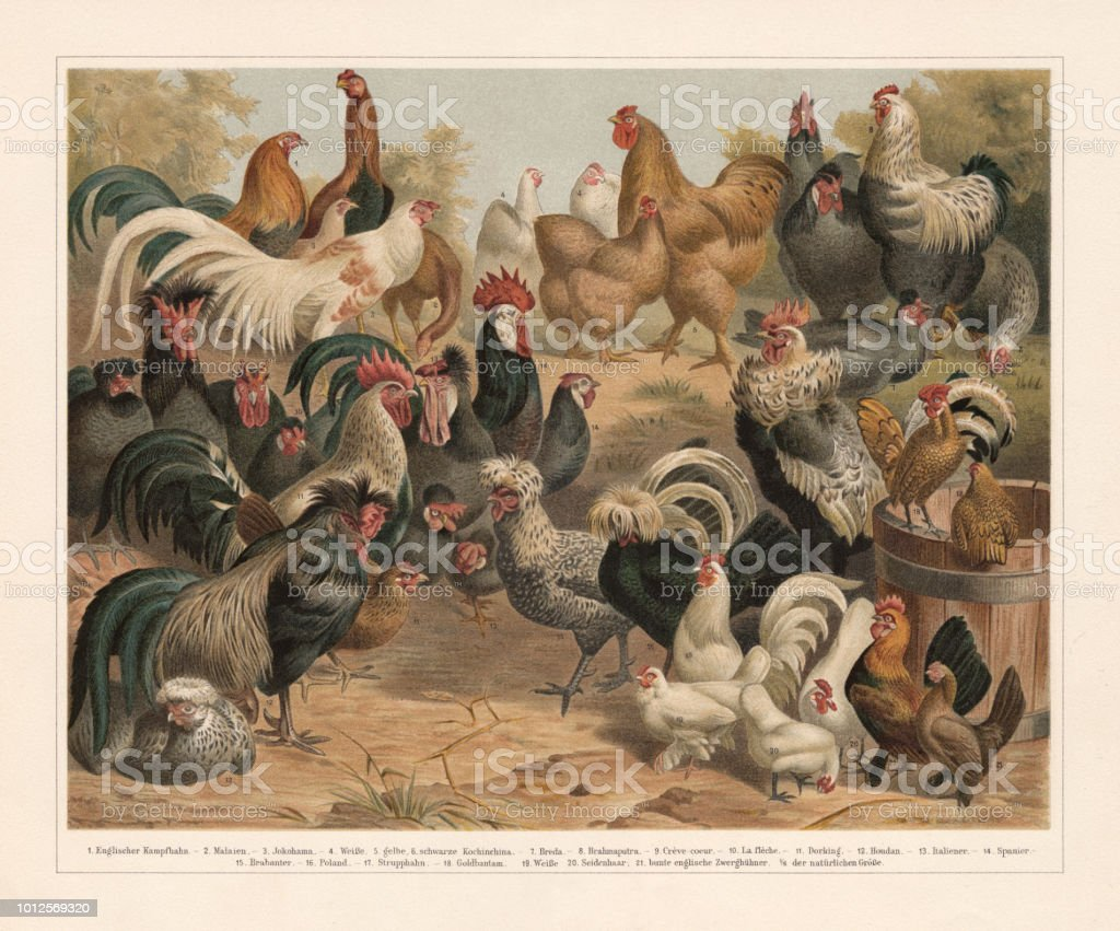 Poultry, chromolithograph, published in 1897 vector art illustration