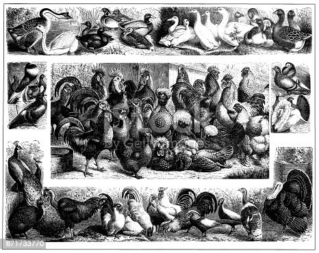 Illustration of a poultry
