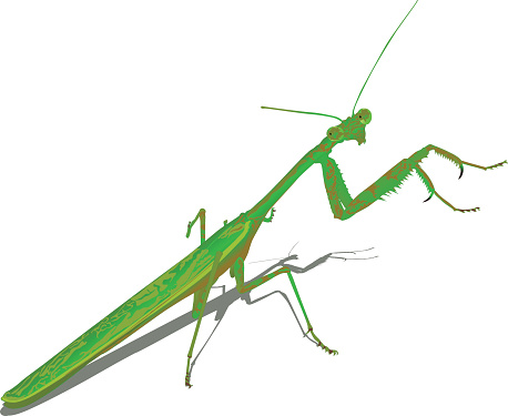 Praying Mantis (Vector)