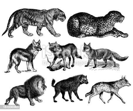Predators' Illustrations - Tiger, Lion, Wolf, Fox, Hyena, Leopard, Coyote