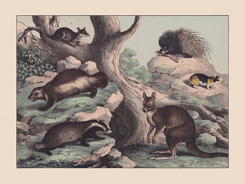 Predators (Mustelidae), marsupialia and rodents, hand-colored chromolithograph, published in 1869