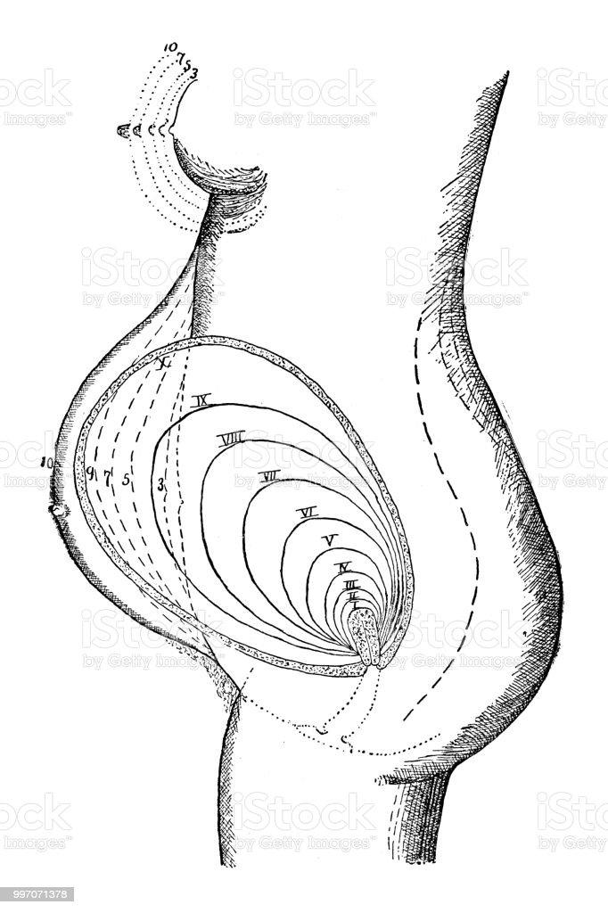Ilustración de Diagrama De Embarazo y más banco de imágenes de ...