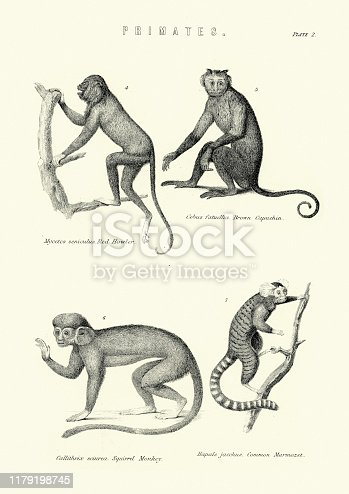 Vintage engraving of Primates, Howler monkey, Brown Capuchin, Squirrel monkey, Marmoset, 19th Century engraving