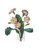 High resolution illustration of a primrose, isolated on white background. Engraving by Pierre-Joseph Redoute. Published in Choix Des Plus Belles Fleurs, Paris (1827).