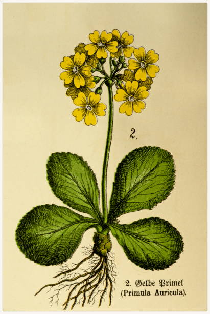 Primula Auricula - Cropped from Victorian style botanical lithographs book. Munich 1880-1889,  Germany. Cropped from Victorian style botanical lithographs book. Munich 1880-1889,  Germany. 1880 1889 stock illustrations