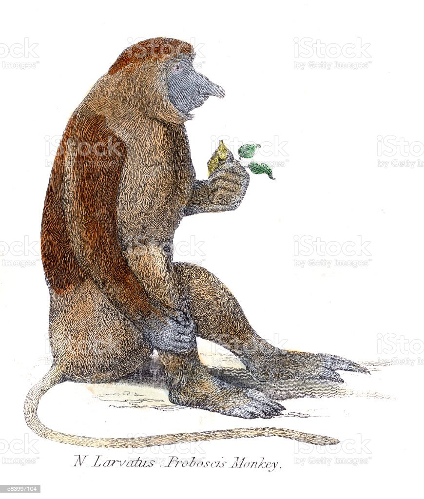 Proboscis monkey illustration 1803 vector art illustration