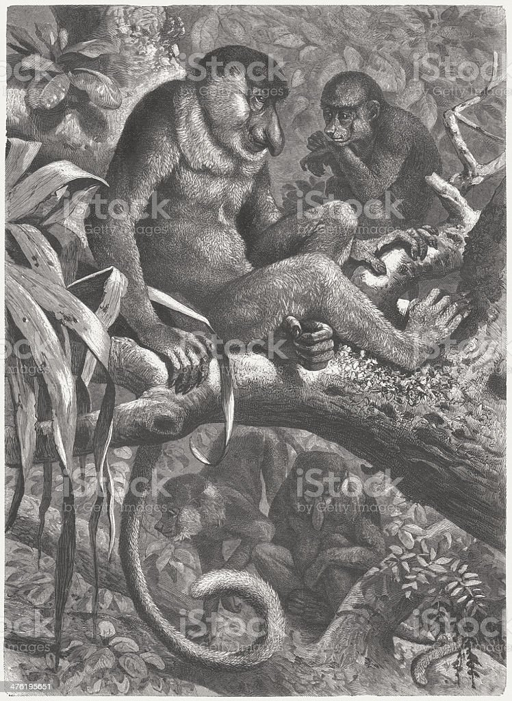 Proboscis monkeys (Nasalis larvatus) on Borneo, wood engraving, published 1883 vector art illustration