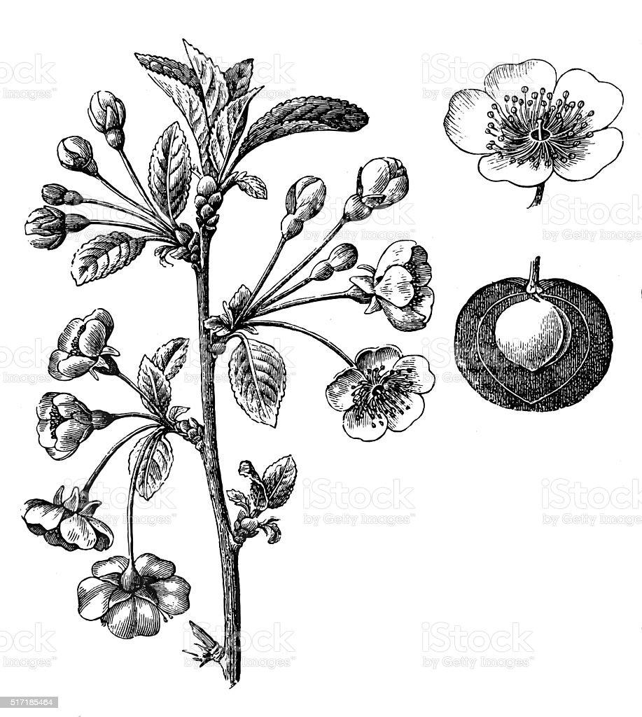 Prunus cerasus (sour cherry,tart cherry, or dwarf cherry) vector art illustration