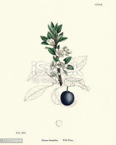 Vintage engraving of Prunus domestica, Wild plum, Floral victorian print