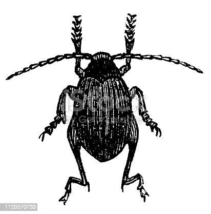 Illustration of a Psylliodes chrysocephala or Psylliodes chrysocephalus, commonly known as the cabbage-stem flea beetle