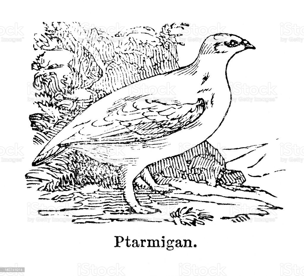 ptarmigan engraving royalty-free stock vector art