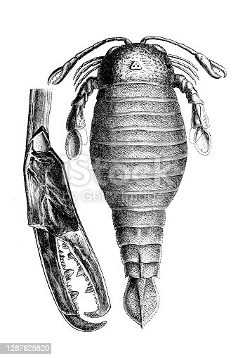Illustration of a Pterygotus is a genus of giant predatory eurypterid, a group of extinct aquatic arthropods