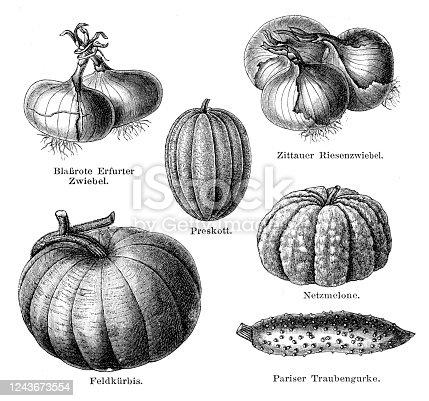 Pumpkin onion cucumber illustration 1897