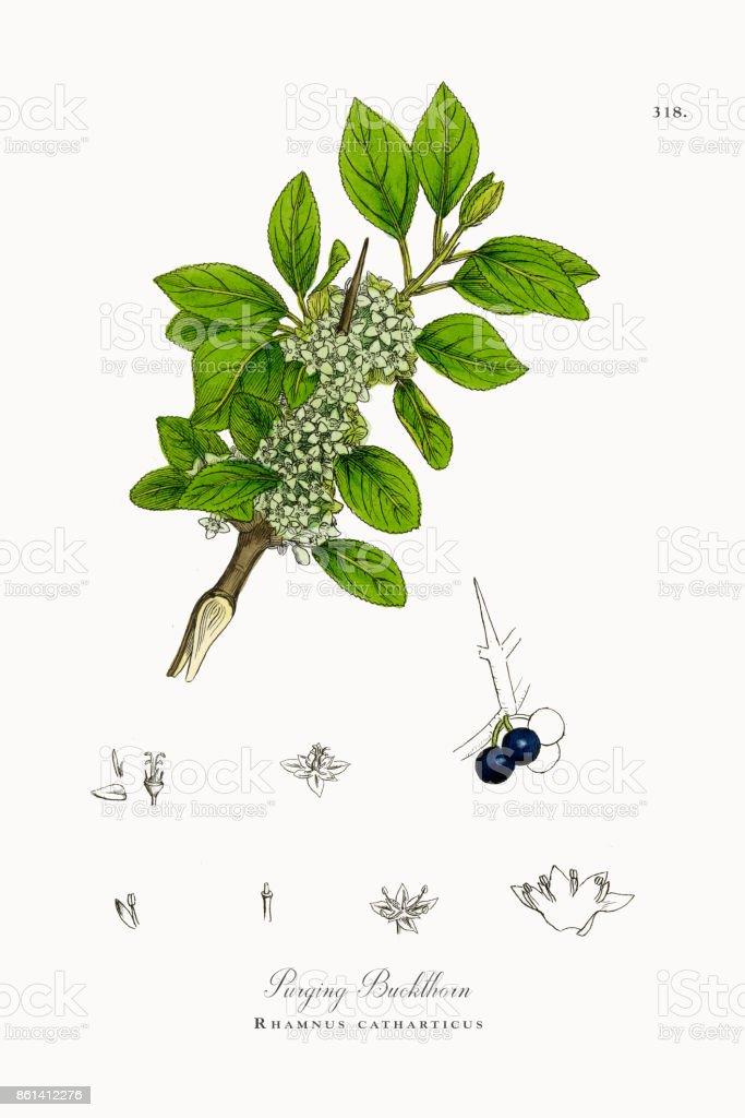 Purging Buckthorn Rhamnus Catharticus Victorian Botanical ...