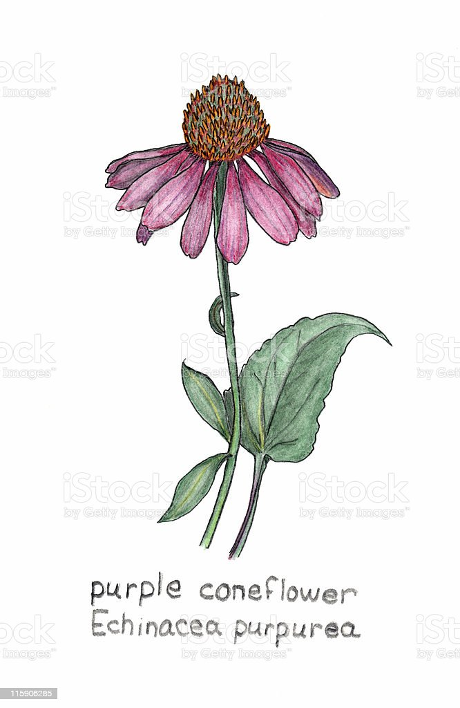purple coneflower, Echinacea purpurea, colored pencil drawing vector art illustration